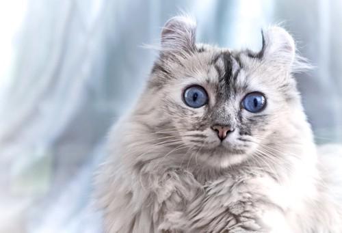 正面を見ている青い瞳のアメリカンカール