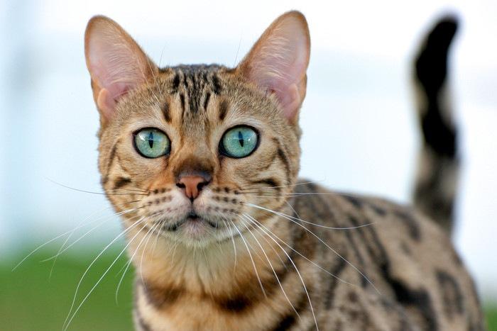 斑点模様の猫