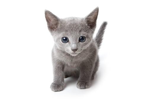ロシアンブルーの子猫