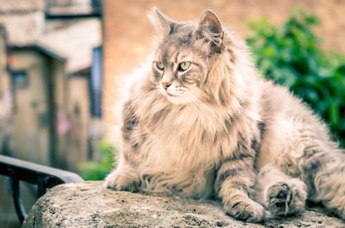 石の上でくつろぐたてがみのある長毛猫