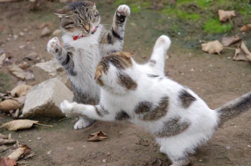 両手を広げて喧嘩をしている二匹の猫