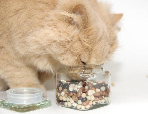 豆を嗅ぐ猫