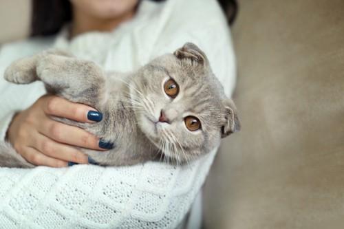 抱っこされる耳折れの猫