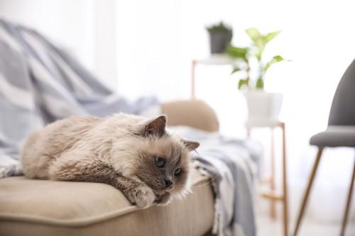 ソファーで寝そべる猫