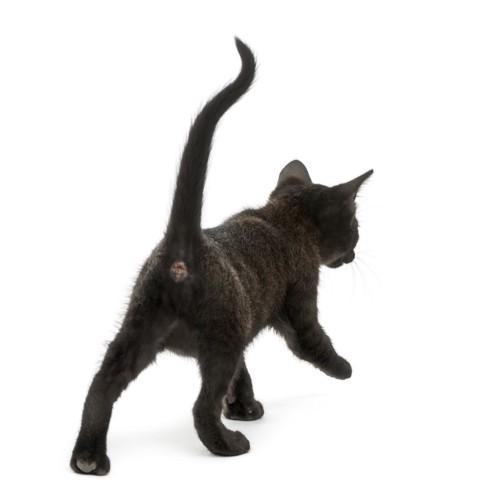 しっぽをあげてお尻を向けて歩く子猫
