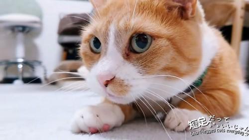 伏せの姿勢で前を見る猫