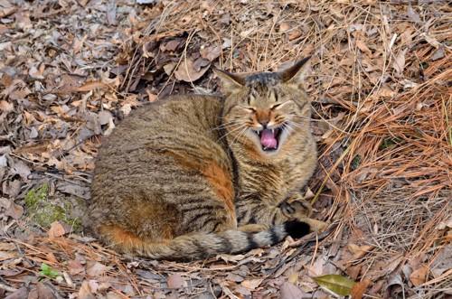 あくびする野良猫