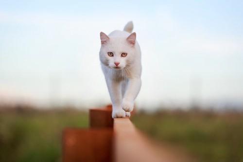 塀を歩く白猫