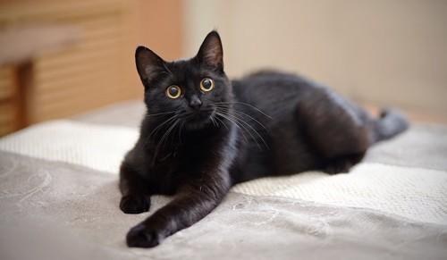 ベッドの上でくつろぐ黒猫