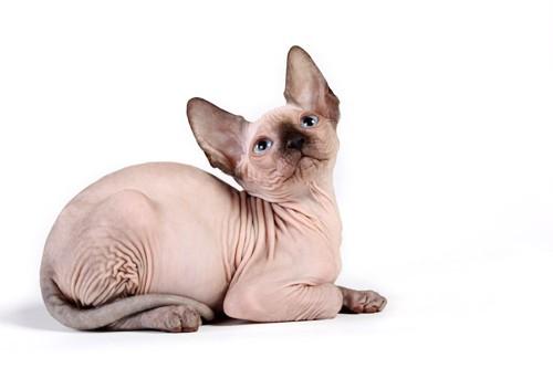 伏せて上を見つめているスフィンクスの子猫