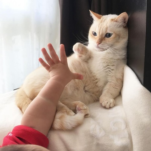 手をあげるマンチカン