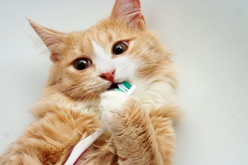 歯ブラシを口に入れる猫