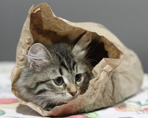 紙袋に入った子猫