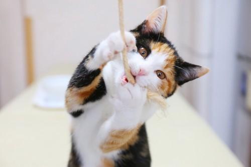 紐のおもちゃで遊ぶ猫