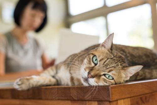 テーブルの上で寝転ぶ猫とパソコンをしている女性