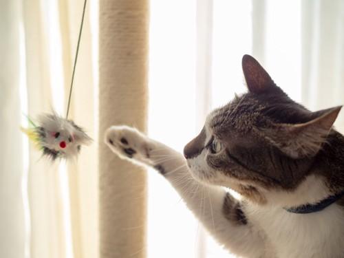 ぶら下がったネズミのおもちゃにじゃれる猫