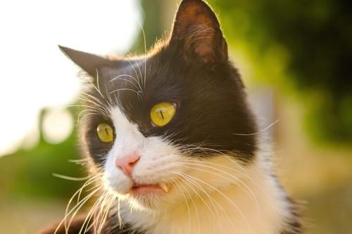 牙が出ているハチワレ猫