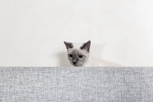 ソファーの後ろに隠れる猫