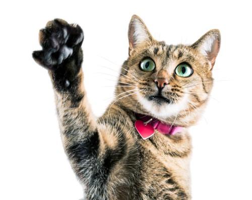 手をあげている猫