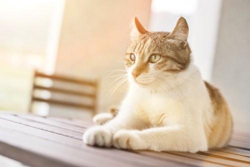日なたぼっこしてくつろぐ猫