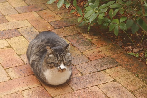 香箱座りする猫