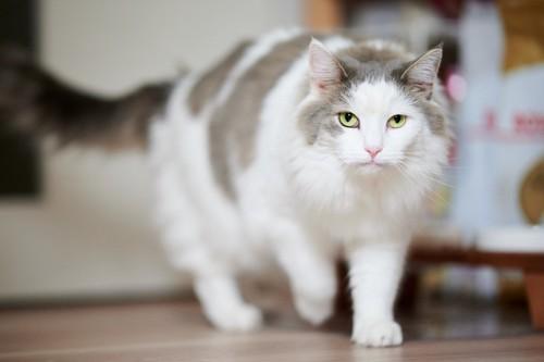 歩く白い猫