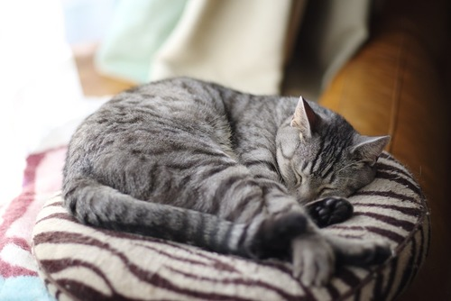 クッションの上で寝ている猫