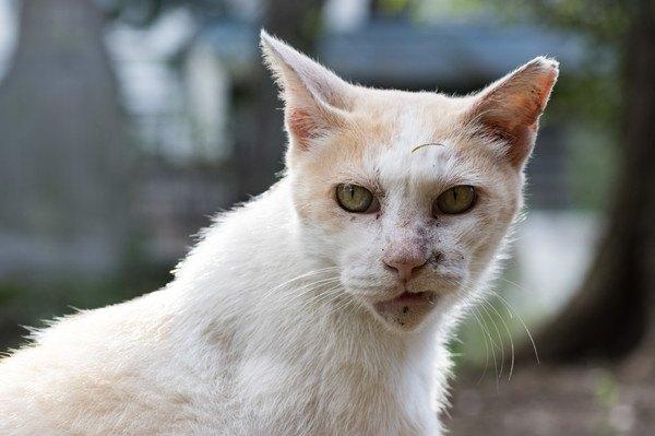 怒る白い猫