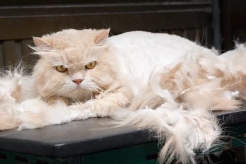 不要な毛をカットされている猫
