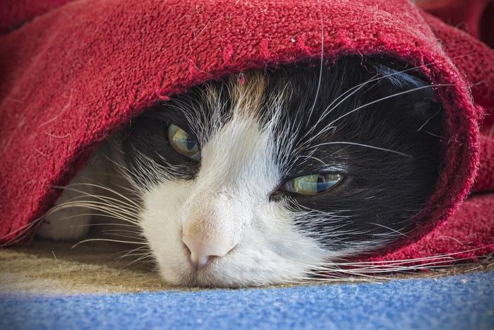 毛布にくるまった猫