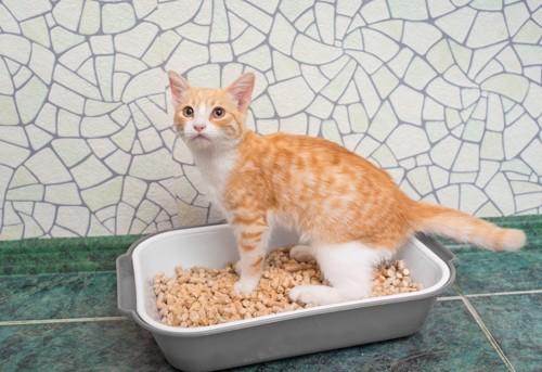 猫用トイレに入る猫