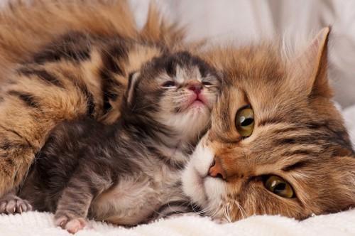 母猫にくっつく子猫