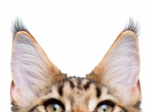 大きな耳の猫の顔アップ