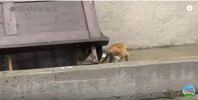 ツナのにおいにつられて出てきた母猫