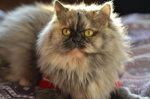 こげ茶のペルシャ猫