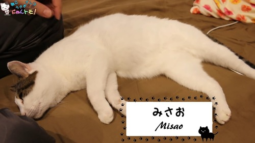 横になる白い猫