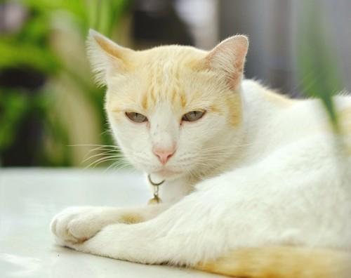 眠そうな顔をした白猫