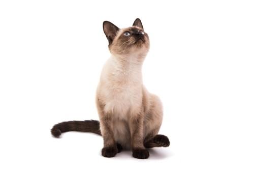 上を見るシャム猫