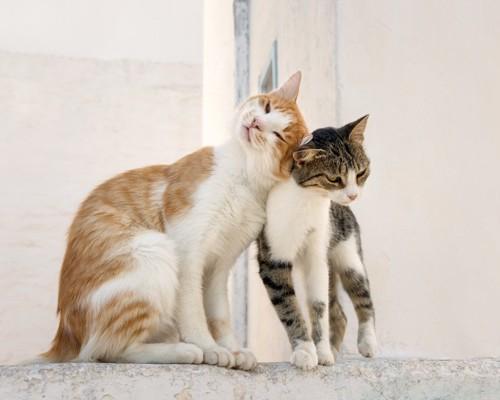 猫同士の頭突き