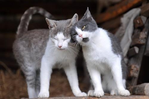 猫同士頭突きをする姿