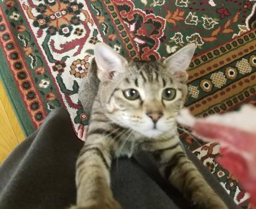 服によじ登る猫