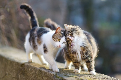 頭をくっつける二匹の猫