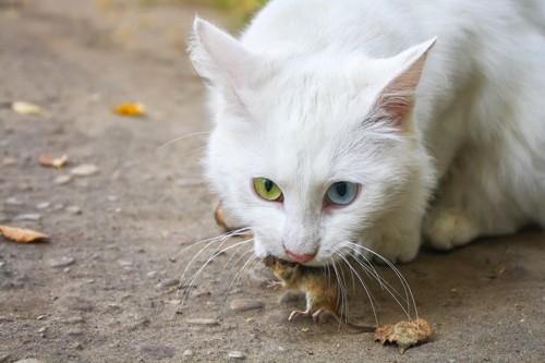 ネズミを咥える猫