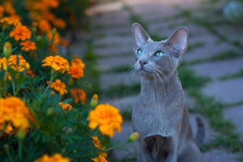 花壇とグレイのオリエンタル