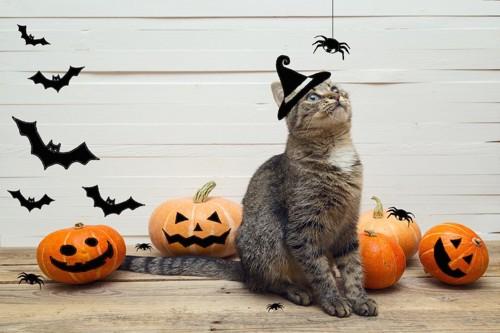 ハロウィンの飾りの蜘蛛を見る猫