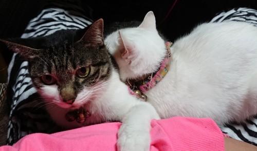 飼い主の膝に手をかける猫に寄りかかって寝る白猫