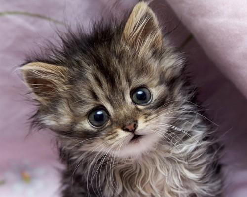 おやつが欲しい子猫
