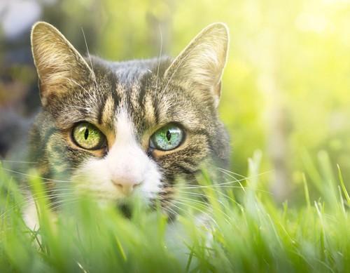 草むらに潜む目の大きな猫