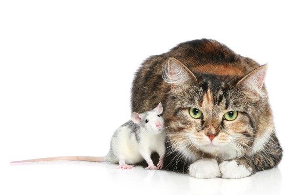 ソックス猫とネズミ