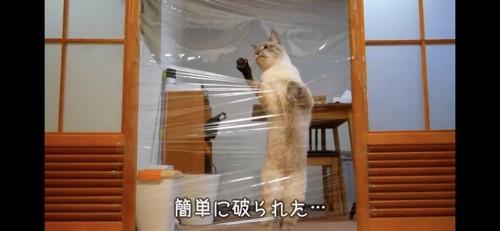 ラップを破る猫